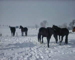 paarden in de sneeuw